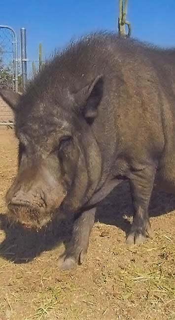 Photo of Louis, a pig sponsored by Joan Bundy Law, Chandler, Arizona.